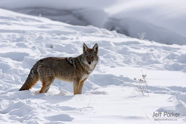 Jeff Parker's tips for photographing animals in the snow