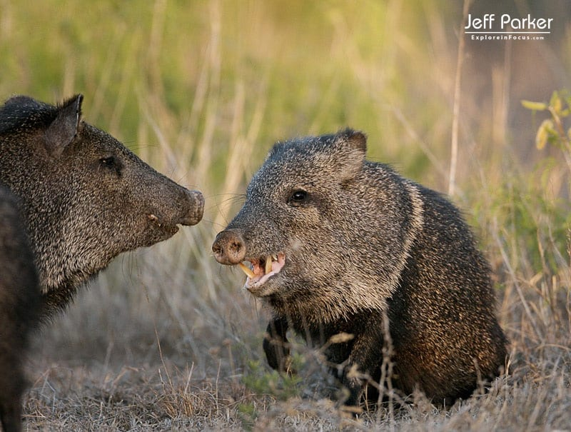 Javelinas fighting in South Texas Photography