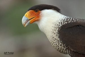 South Texas Birds in Focus photo tour  with ExploreinFocus.com / © Jeff Parker