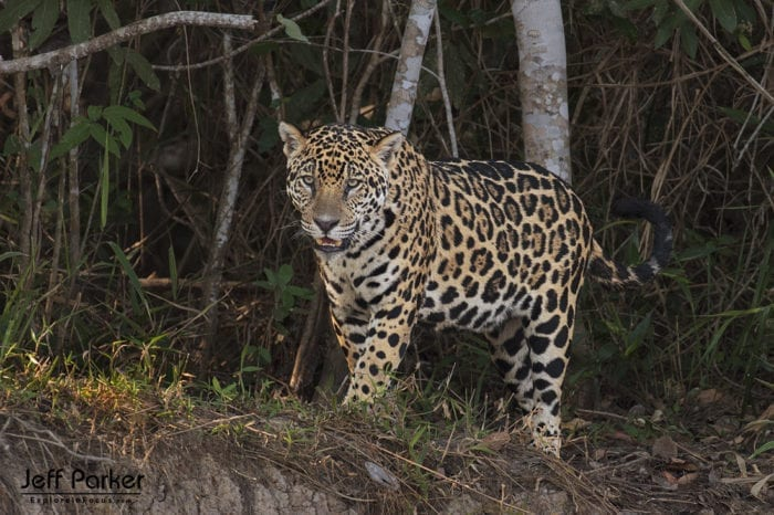Photograph wild jaguars during Jeff Parker's Jaguars of the Pantanal Photo Tour 2019