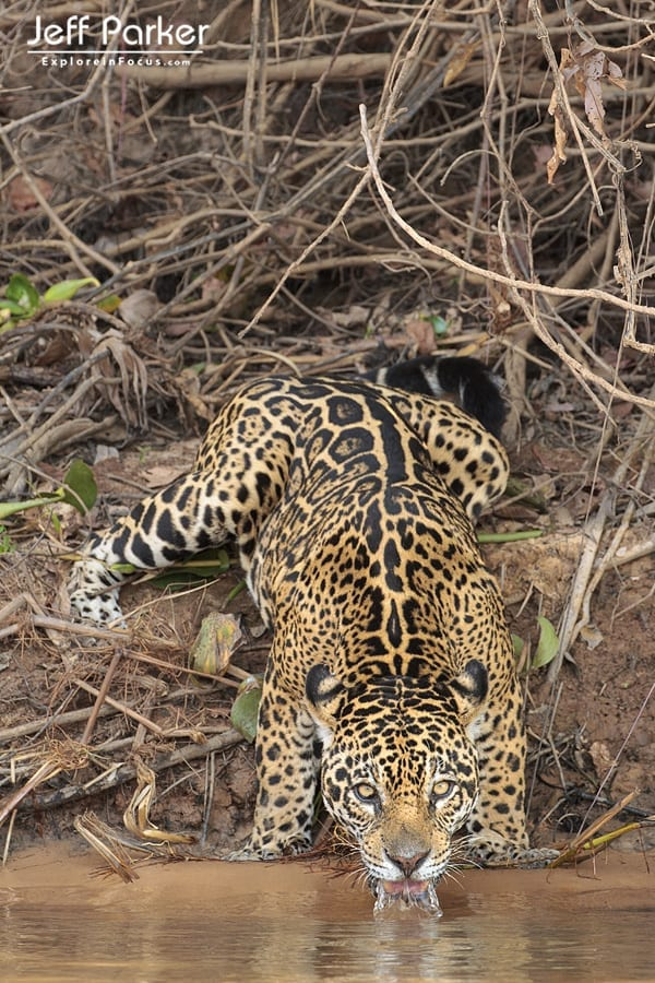 Photograph wild jaguars in Brazil with award winning wildlife photographer, Jeff Parker