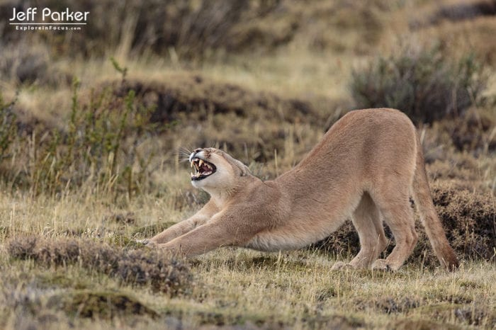 Pumas of Patagonia Photo Tour, Explore in Focus with Jeff Parker