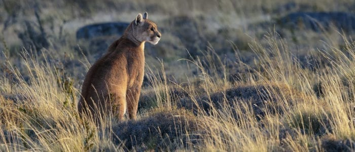 "Wild pumas (a.k.a. mountain lions, cougars) star in this ""Pumas and Peaks of Patagonia Photo Tour 2022."" This is the experience featured in my article in the April 2018 issue of Outdoor Photographer."