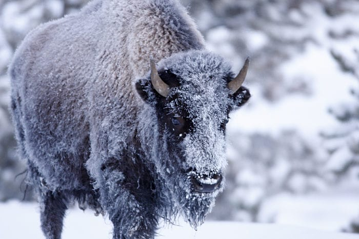 Yellowstone in Winter Photo Tour with Explore in Focus™ with Jeff Parker