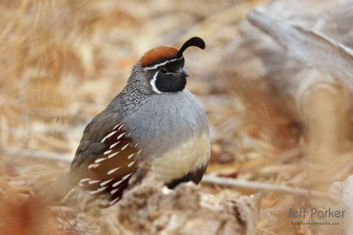 Photograph Gambels Quail during this Arizona Birds Photo Tour with Jeff Parker, Explore in Focus