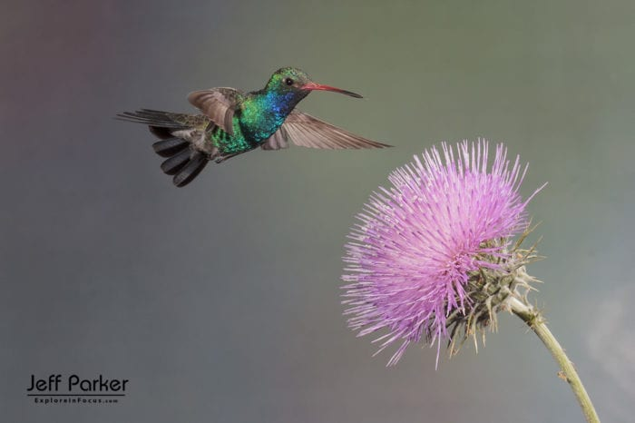 High speed multi flash hummingbird photography during this Arizona photo tour with Jeff Parker.