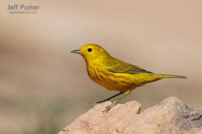 Photograph Yellow Warblers during this Birds and Bats of SE Arizona Photo Tour with Jeff Parker