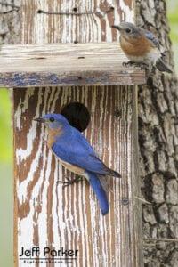 Eastern Bluebirds in Texas, Backyard Birds Photography Workhshop