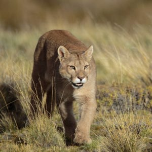 Photograph the winter landscapes and the wild pumas of Patagonia with Jeff Parker during his Winter Pumas and Peaks of Patagonia Photo Tour 2021.