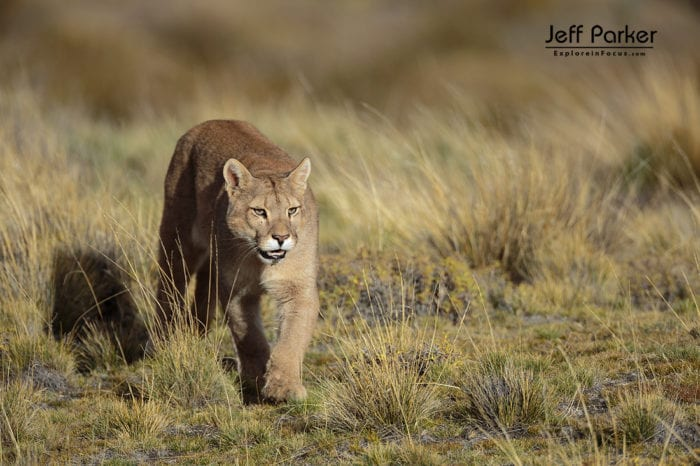 Photograph the winter landscapes and wild pumas of Patagonia with me during my Winter Pumas and Peaks of Patagonia Photo Tour 2021.