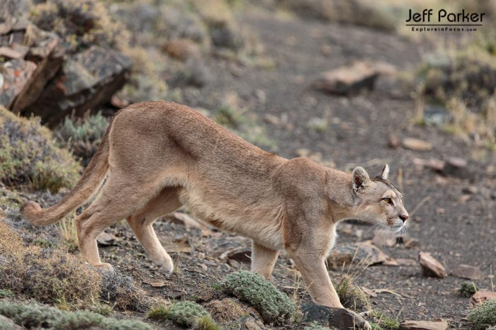 Capture wild pumas in their thick winter coats, while the rugged Patagonian peaks all around them wear photogenic snow during Jeff Parker's Winter Pumas and Peaks Photo Tour 2023