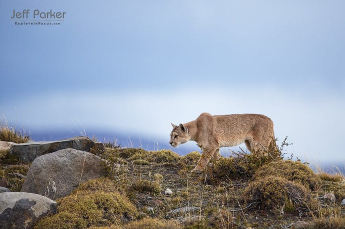 Photograph wild pumas during this Patagonia photo tour with Jeff Parker, Explore in Focus.