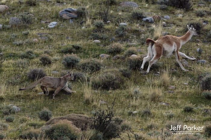 Photograph wild mountain lions during this Pumas and Peaks of Patagonia Photo Tour