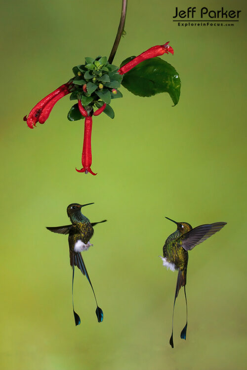 During Jeff Parker's Ecuador Hummingbirds and More Photo Tour we'll focus on the winged wildlife of this vivacious nation