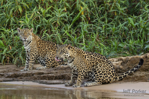 Join me in the world's largest contiguous wetland for my Jaguars of the Pantanal Photo Tour 2022. There, plan to photograph wild jaguars and SO much more!