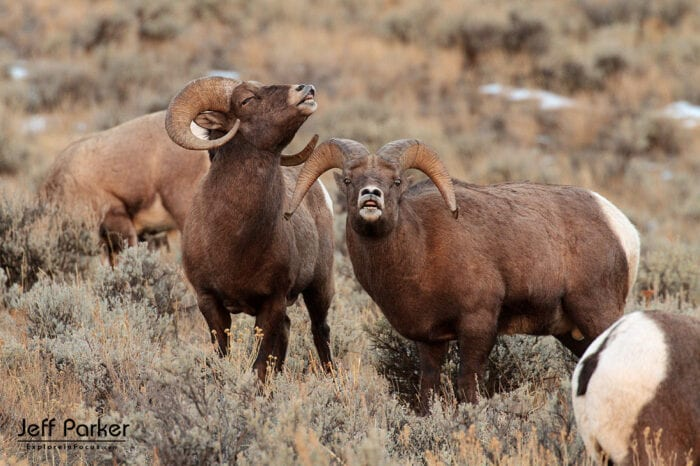 Capture dramatic images of mighty rams battling for dominance during Jeff Parker's Bighorn Rut Photo Tour 2021